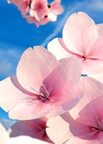 Kirschblüten 3D